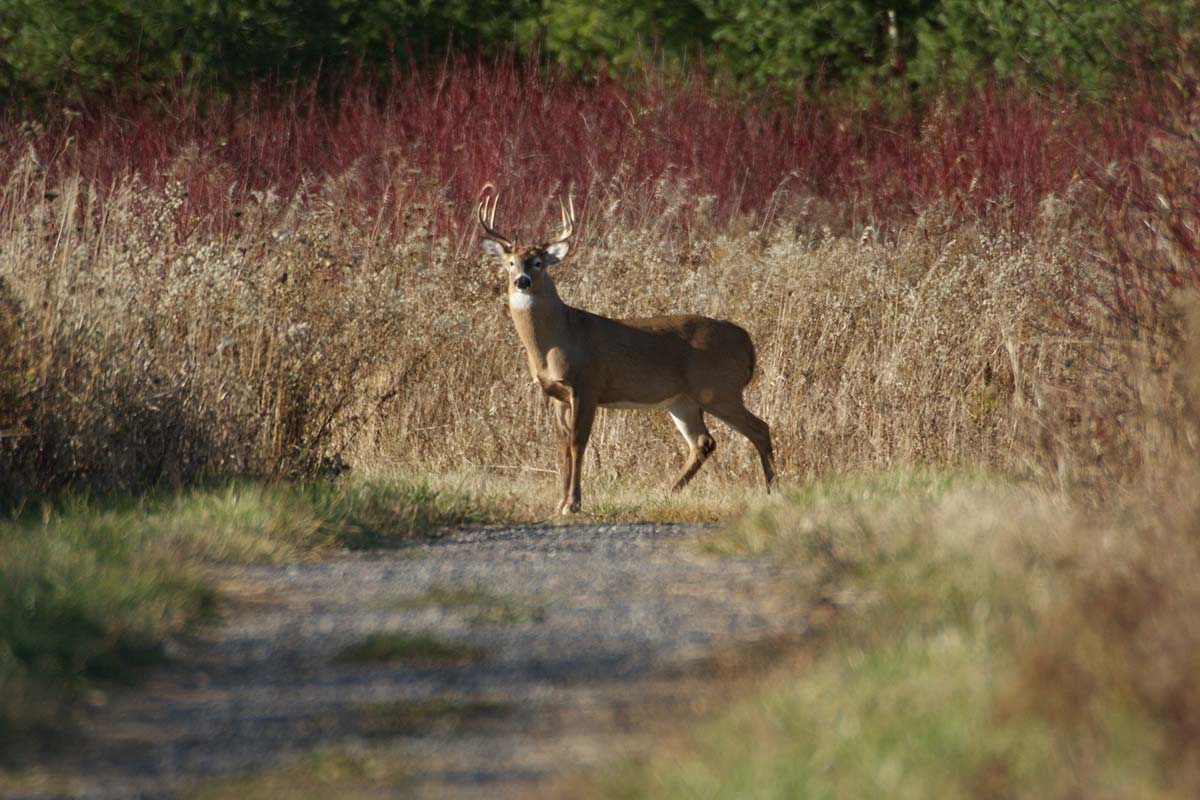 Photo of a deer on path